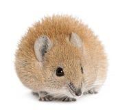 Rato Spiny dourado, russatus de Acomys, o 1 anos de idade fotos de stock royalty free