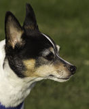 Rato Terrier Foto de Stock Royalty Free