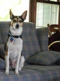 Rato Terrier alerta que senta-se no sofá fotografia de stock royalty free