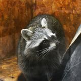 Raton laveur au zoo photo libre de droits