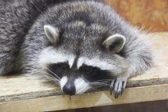 Raton laveur au zoo photos stock