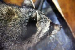 Raton laveur au zoo images libres de droits