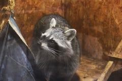 Raton laveur au zoo photographie stock
