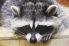Raton laveur au zoo photos libres de droits