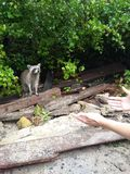 Raton laveur dans Dominicana Photo libre de droits