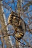 Raton laveur dans l'arbre Photographie stock