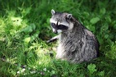 Raton laveur dans l'herbe Photo libre de droits