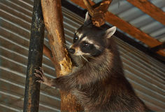 Raton laveur dans la clôture de zoo Images stock
