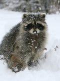 Raton laveur dans la neige Photographie stock libre de droits