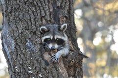 Raton laveur dans le trou d'un arbre images stock