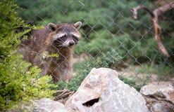 Raton laveur dans le zoo photos stock