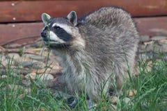 Raton laveur dans le zoo de Moscou photo stock