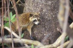 Raton laveur dans sauvage, parc national de marais, 10.000 îles, FL Image stock