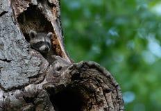 Raton laveur de bébé se cachant à l'intérieur de l'arbre image libre de droits