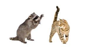 Raton laveur drôle jouant avec un droit écossais de chat Photographie stock