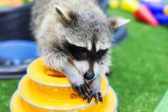 Raton laveur espiègle à la maison, animal familier images stock