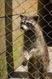 Raton laveur mignon dans le zoo Image stock
