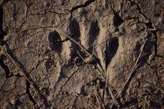 Raton laveur Paw Print Image libre de droits