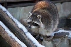 Raton laveur pendant l'hiver sur des rondins Image libre de droits