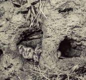 ratones Imagenes de archivo