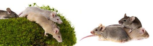 ratones foto de archivo libre de regalías