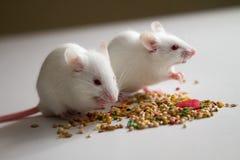 Ratones blancos que comen la semilla del pájaro en la tabla vacía foto de archivo libre de regalías