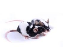 Ratones en amor Fotos de archivo libres de regalías