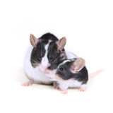 Ratones en el amor 2 foto de archivo libre de regalías