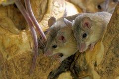 Ratones espinosos de Asia Menor fotografía de archivo libre de regalías