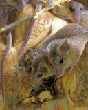 Ratones espinosos de Asia Menor fotos de archivo libres de regalías