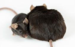 Ratones magros obesos y healty Imagen de archivo