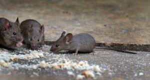 Ratones que alimentan en jardín de la casa Foto de archivo