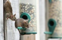 Ratos. Imagem de Stock