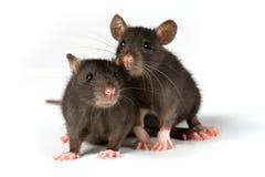 Ratos Imagem de Stock