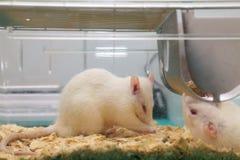 Ratos brancos do laboratório (do albino) que comem na gaiola Foto de Stock