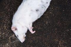 Ratos brancos inoperantes no assoalho Imagens de Stock Royalty Free