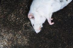 Ratos brancos inoperantes no assoalho Imagens de Stock