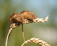 Ratos de colheita Foto de Stock