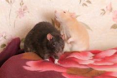 Ratos domésticos pretos e vermelhos Fotografia de Stock