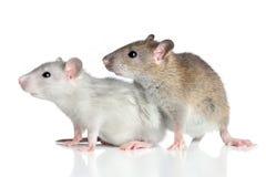 Ratos em um fundo branco Fotos de Stock