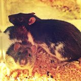 Ratos irmão e irmã imagens de stock
