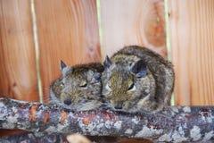 Ratos na gaiola em um ramo Foto de Stock