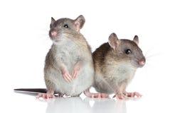 Ratos no fundo branco Fotografia de Stock