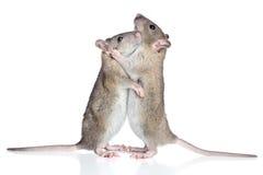 Ratos que afagam em um fundo branco Fotos de Stock