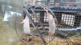 Ratos que correm em uma roda video estoque