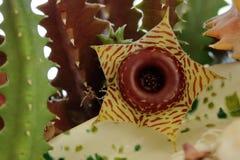Ratownik roślina lub Huernia Zebrina kwiat Zdjęcia Stock