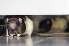 Rats à la cuisine image stock