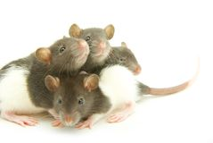 Rats. Funny rat  isolated on white background Stock Photography