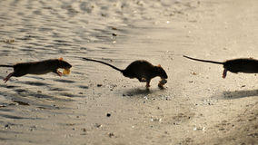 Free Rats Royalty Free Stock Photo - 13729835