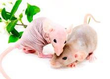 Rats Royalty Free Stock Photos